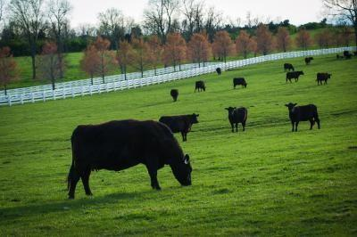 Beef cattle grazing on a pasture.