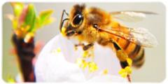 Picture of honey bee.