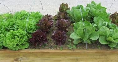A variety of lettuces in a raised bed garden.