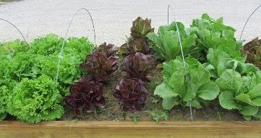 Variety of lettuces in raised bed garden.